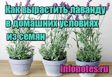 картинка Как вырастить лаванду в домашних условиях из семян