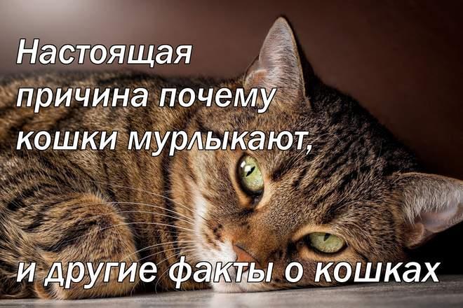 Настоящая причина почему кошки мурлыкают, и другие факты о кошках
