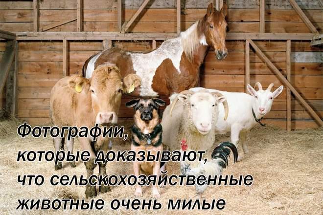 Фотографии, которые доказывают, что сельскохозяйственные животные очень милые
