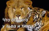 Что общего у льва и тигра?